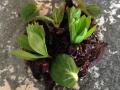 Semitorkad rödbeta, svart vitlök och nyponolja